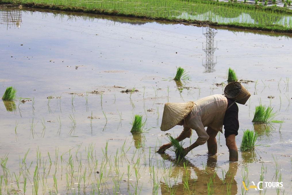 Coltivazione-di-riso